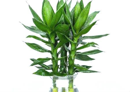 客厅招财风水植物
