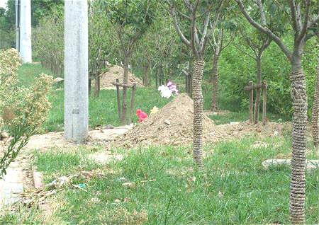 坟地周围适合栽什么树
