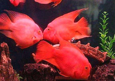常见风水鱼种类