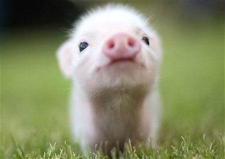 属猪员工办公风水
