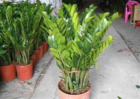 室内养什么植物好风水