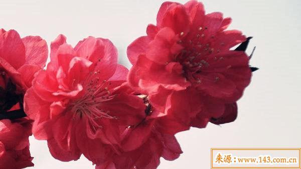 红艳桃花的查法