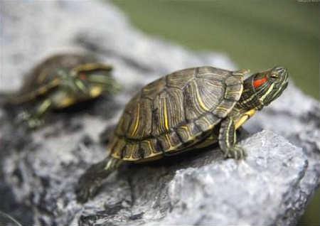 养乌龟的风水讲究与禁忌