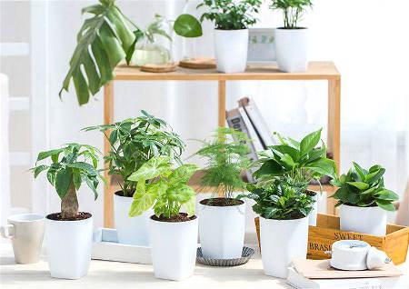 办公室风水植物