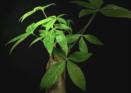发财树摆放位置风水