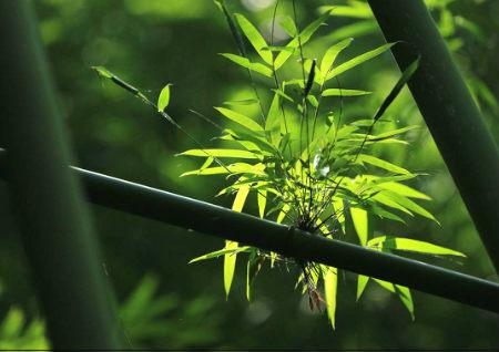 院子里种竹子风水好吗