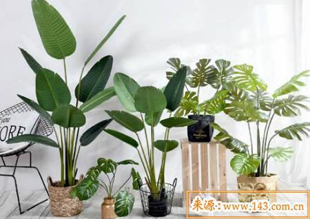 旺财家居风水植物