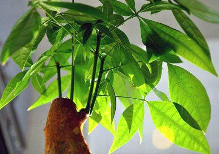 发财树摆在客厅哪里好