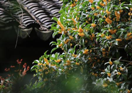桂花树的风水作用