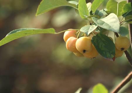 院子里种什么果树风水最好