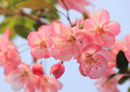 海棠花的风水作用