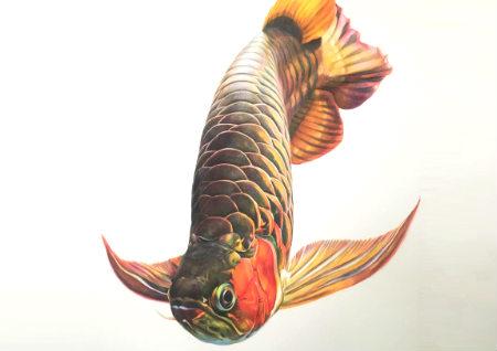 养金龙鱼的风水讲究