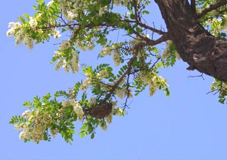 槐树在风水中的作用