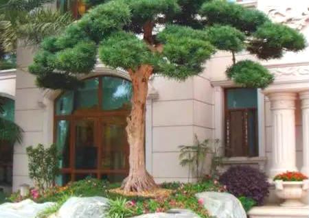 大门前栽树的风水