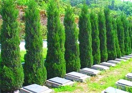 为什么墓地要种柏树