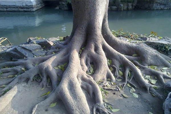 论八字中日主的根和印