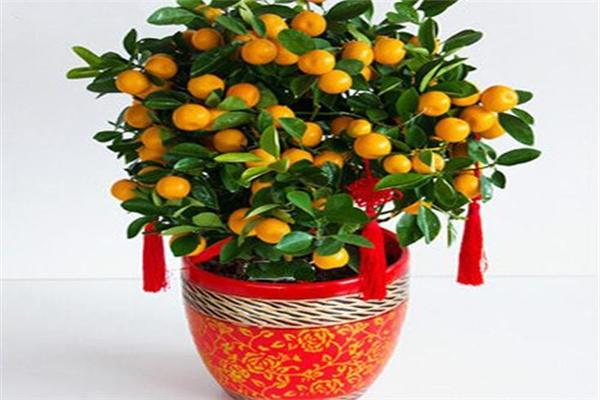 客厅招财旺宅植物